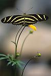 Woodland park zoo butterfly exhibit Zebra Long Winged landing on flower Seattle Washington State USA..
