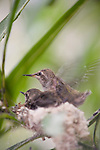 La Jolla, California;  one of the two, two week old Anna's Hummingbird (Calypte anna) chicks, beats it's wings rapidly, while sitting in their nest