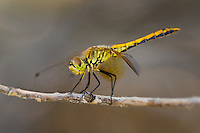 362700015 a wild juvenile male band-winged meadowhawk sympetrum semicintum perches on a dead twig near bishop in inyo county california