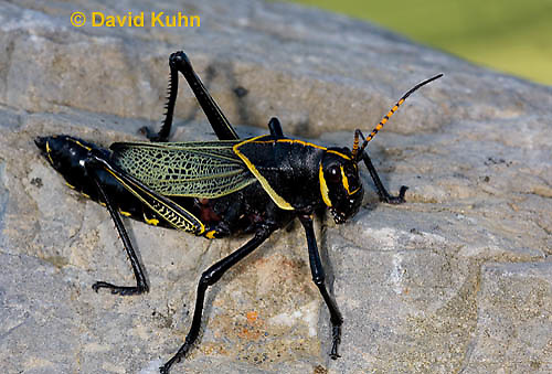 0913-0818  Adult Horse Lubber Grasshopper - Taeniopoda eques © David Kuhn/Dwight Kuhn Photography.