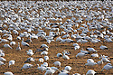 WA08100-00...WASHINGTON - Large flock of snow geese in a field on the Fir Island section of the Skagit Wildlife Area.