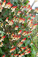 Ipomoea lobata TN100 aka Mina lobata, in cream and red and yellow flowers