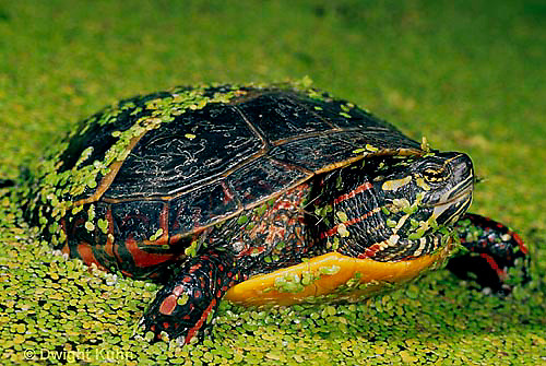 1R13-035z  Painted Turtle - adult coming out of duckweed pond - Chrysemys picta