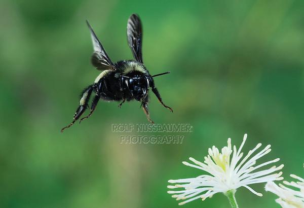 Bumblebee (Bombus sp.), adult in flight among Old man's beard (Clematis drummondii), Dinero, Lake Corpus Christi, South Texas, USA