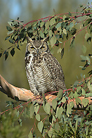 Great Horned Owl (Bubo virginianus), roosting in a Eucalyptus
