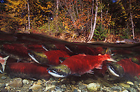 mb42. Sockeye Salmon (Oncorhynchus nerka) swimming up river to spawn. British Columbia, Canada..Photo Copyright © Brandon Cole. All rights reserved worldwide.  www.brandoncole.com..This photo is NOT free. It is NOT in the public domain. This photo is a Copyrighted Work, registered with the US Copyright Office. .Rights to reproduction of photograph granted only upon payment in full of agreed upon licensing fee. Any use of this photo prior to such payment is an infringement of copyright and punishable by fines up to  $150,000 USD...Brandon Cole.MARINE PHOTOGRAPHY.http://www.brandoncole.com.email: brandoncole@msn.com.4917 N. Boeing Rd..Spokane Valley, WA  99206  USA.tel: 509-535-3489