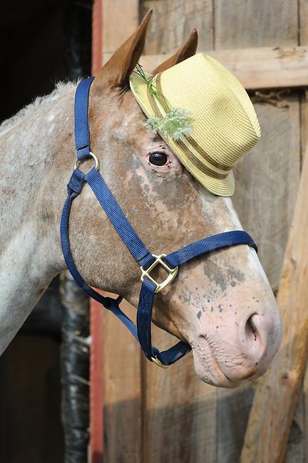 Horse Wearing Fedora Hat