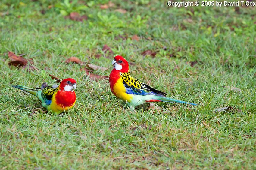 Eastern Rosella, Wooli, NSW, Australia