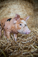 Close-up of a piglet