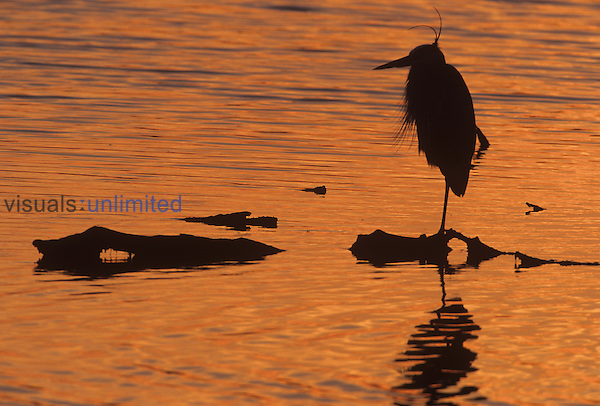 Great Blue Heron at sunset (Ardea herodius), Everglades National Park, Florida.