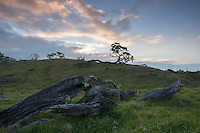 At sunset, green grass and moss grow over ancient fallen koa trees on the hills of Mauna Kea near Mana Road, Big Island.