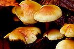 Wild mushrooms in Washington State.  Rasar State Park along the Skagit River.