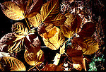 American Beech leaves turn yellow in the fall