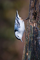 White-breasted Nuthatch (Sitta carolinensis), foraging on a dead tree stump. Michigan.