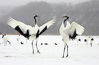Pair endangered red-crowned cranes (Grus japonensis) in mating dance, Hokkaido Island, Japan.