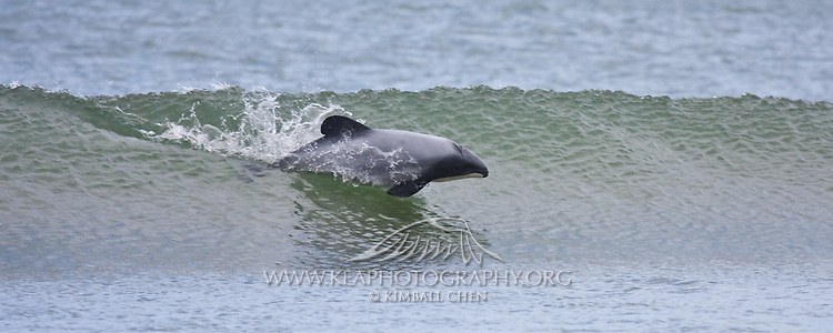 Hector Dolphin, Curio Bay, New Zealand