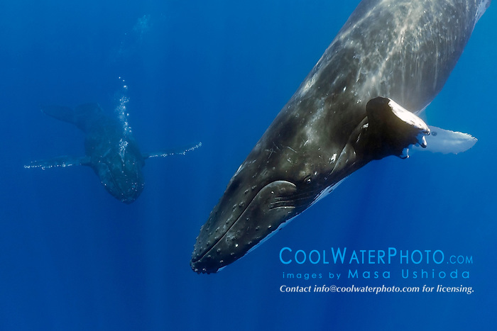 humpback whales, Megaptera novaeangliae, displaying courtship behavior - male approaches female while blowing bubbles aggressively, Hawaii, USA, Pacific Ocean