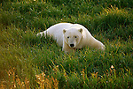 A polar bear lays in the grass.