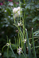 CONTAINER 2: Allium sativum var. ophioscordon, serpent garlic .
