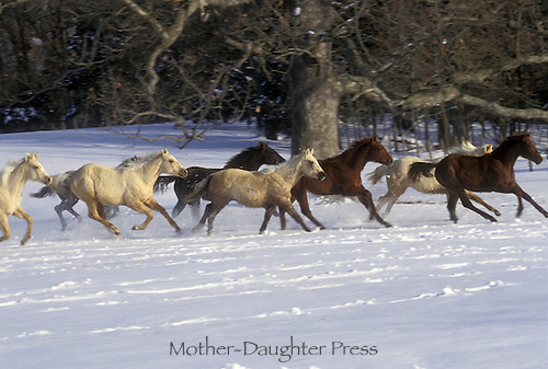 Quarter horses running in snow through woods in winter, a series