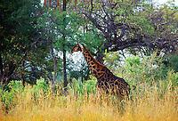 Giraffe  in Moremi National Park, Botswana