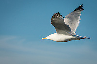 &quot;Herring Gull in Flight&quot;<br />