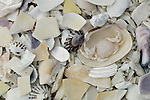Shells and crab, Barkley Sound, Vancouver Island, British Columbia, Canada