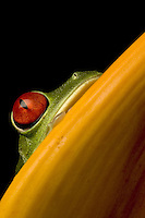 Close-up of a red-eyed tree frog (Agalychnis callidryas), Costa Rica.