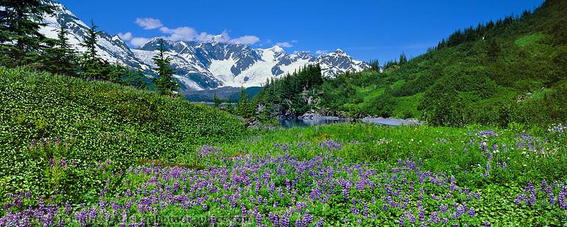 Field of Arctic lupine wildflowers, Harriman Fjord, Chugach mountains, Prince William Sound, Alaska