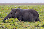 Africa, Kenya, Amboseli. Amboseli Elephant in marsh.