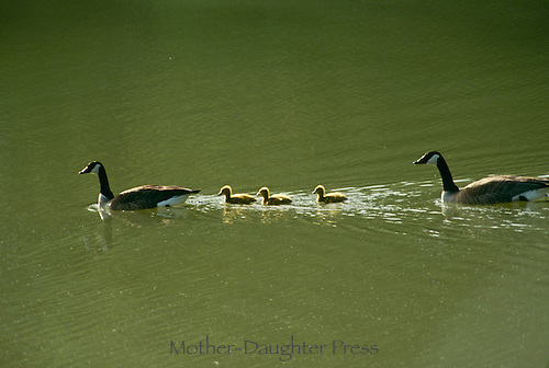 Family of Canada geese swim across a pond- mother and father between 3 fluffy goslings