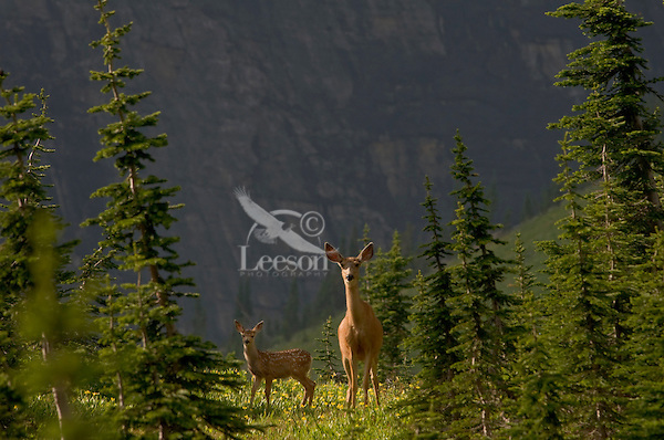 Mule Deer (Odocoileus hemionus) doe and fawn in wildflowers (mostly glacier lilies).  Glacier National Park, Montana.  Summer.