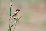 Whinchat, Saxicola rubetra, Lesvos Island, Greece, Passage Migrant, Spring, perched on branch , lesbos