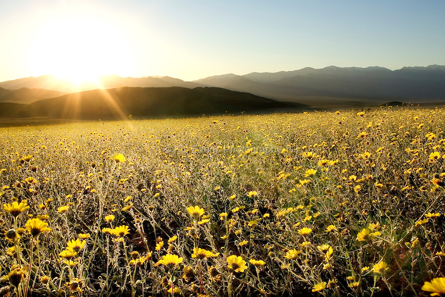 A rare spring bloom that blankets Death Valley National Park.