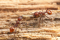 Spine-waisted Ant (Aphaenogaster tennesseensis) workers carry an insect larva back to their nest from a foraging trip on a fallen dead tree trunk.