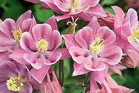 Double columbine Aquilegia 'Winky Rose' aka Winky Rose Rose showing closeup of double pink flowers