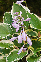 Hosta 'Torchlight' in flower