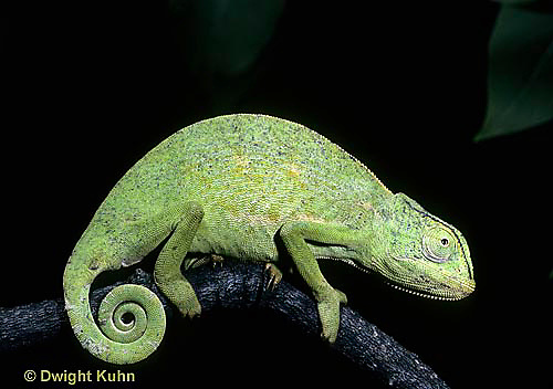 CH01-001x  African Chameleon - showing curled tail - Chameleo senegalensis