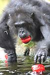 Foto: VidiPhoto<br /> <br /> ARNHEM - Een onverwacht feestelijk moment voor de chimpansees en gorilla's van Burgers' Zoo in Arnhem. Om de Nederlandse groentetelers te steunen, kregen de dieren donderdag een extra maaltijd paprika's. De paprika's van Hollandse producenten zijn door de Arnhemse dierentuin aangekocht tegen normale prijzen, om zo de telers te steunen die last hebben van de boycotmaatregelen uit Rusland. Bovendien gaat het hier om A-kwaliteit groenten, het beste en lekkerste van Nederlandse bodem.Dierentuinen zijn sowieso grootverbruikers van Hollandse groenten en fruit. Het is de bedoeling dat de primaten van Burgers' Zoo de komende tijd extra groenten blijven krijgen.