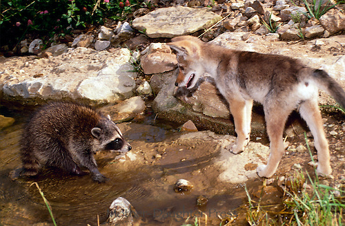 Baby coyote, Canis latrans, with young raccoon, Procyon lotor, Missouri, USA, coyote, raccoon, canine, baby animal, baby animals, water, lake, interaction