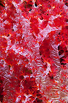 Close Up of some red Soft Coral underwater in Kimbe Bay, New Britain Island, Papua New Guinea.