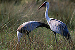 Wattled Crane, Botswana (Vulnerable)