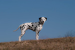 Dalmatian<br /> <br /> Shopping cart has 3 Tabs:<br /> <br /> 1) Rights-Managed downloads for Commercial Use<br /> <br /> 2) Print sizes from wallet to 20x30<br /> <br /> 3) Merchandise items like T-shirts and refrigerator magnets