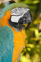 Blue-and-Yellow Macaw (Ara ararauna) head
