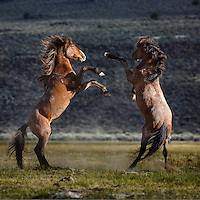 Two wild heavyweights go hoof to hoof in the Adobe Valley. fighting among bachelor stallions is an instinctive bheavior which help determine dominance/heirarchy but rarely results in serious injuires