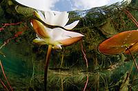 Waterlilies, Sweden