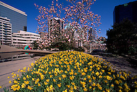 Vancouver, BC, British Columbia, Canada - Daffodils and Magnolia Tree blooming in Flower Garden at Robson Square, Downtown, City, Spring
