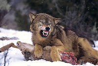 69492452 a captive gray wolf  canis lupus lays in a snowbank defending a deer carcass by snarling at an intruder and baring its fangs in central montana