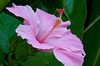 Pink Hibiscus flower, Macro photograhy, Miami nature, Tropical flowers,<br />