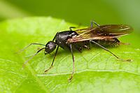 Black Carpenter Ant (Camponotus pennsylvanicus) - Queen, West Harrison, Westchester County, New York